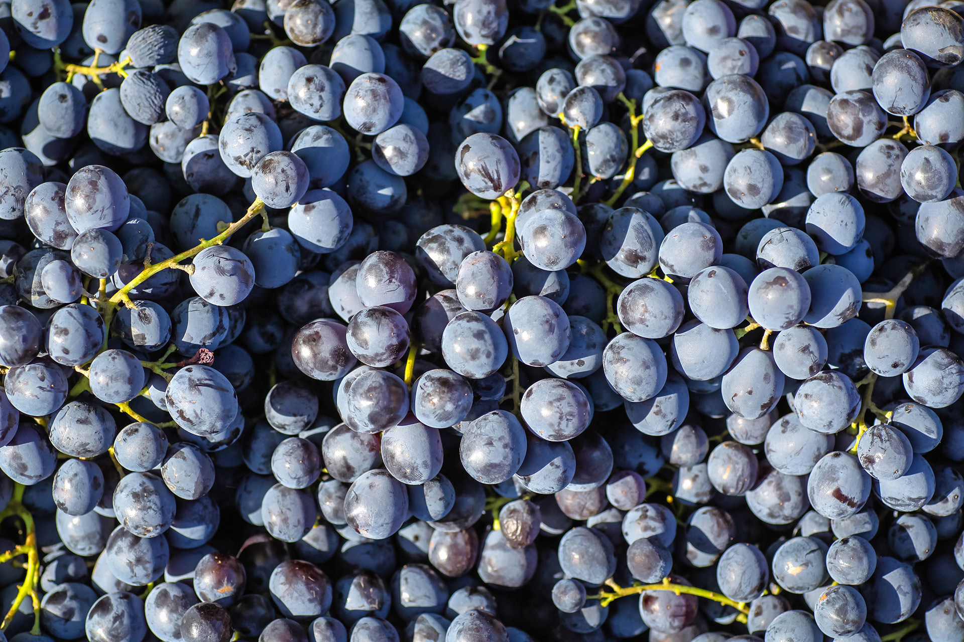 Red Wine Grapes For Sale in Bulk
